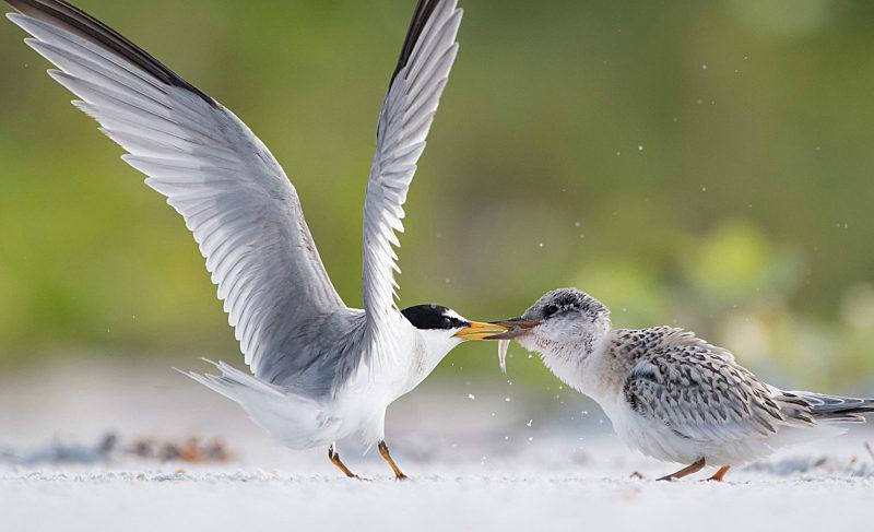 Audubon Florida monitors threatened birds who make their homes on rooftops