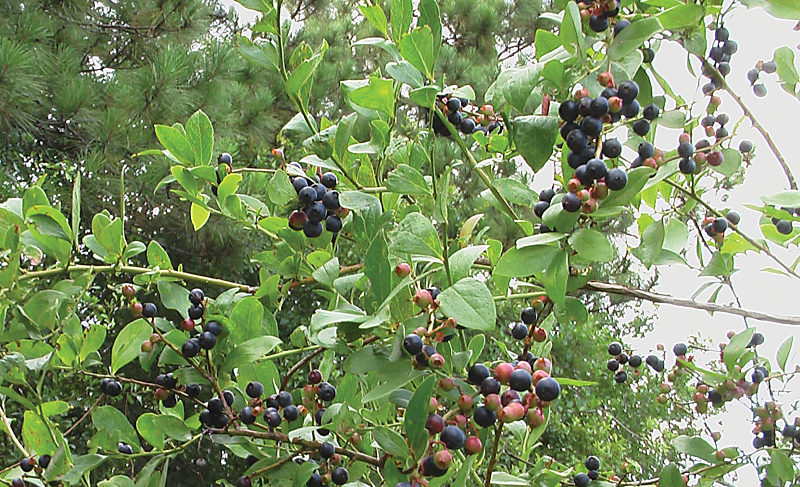 Blueberries: A Berry Good Treat