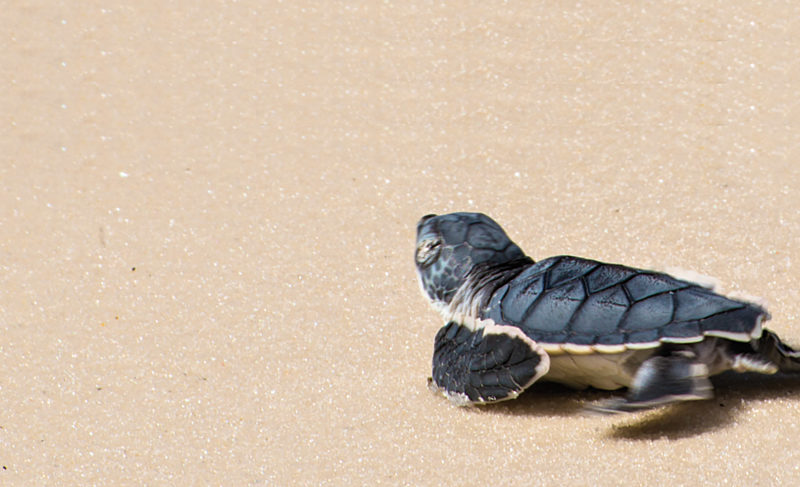 Take turtle-friendly precautions to help protect nesting sea turtles